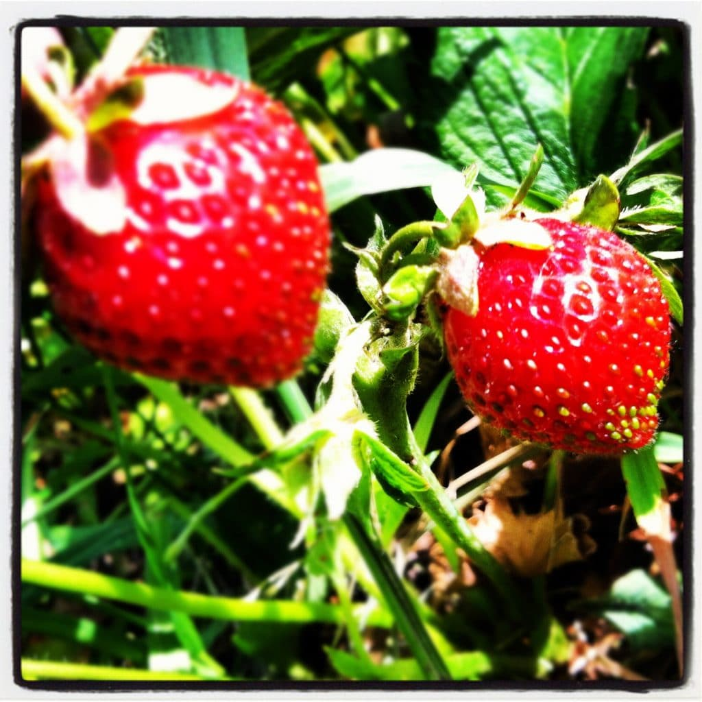 Strawberries at Egg Harbor Natural Gardens
